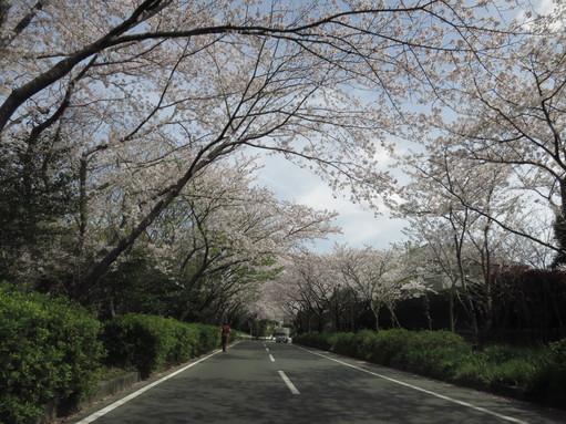 佐鳴湖桜並木