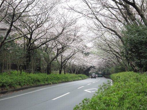 桜並木 佐鳴湖